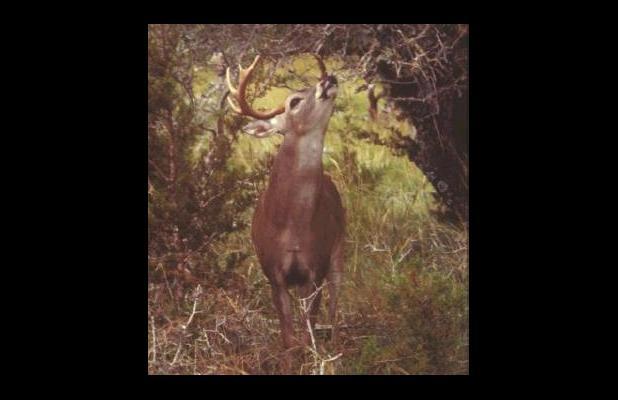 West Texas Deer Forecast